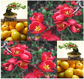 20 x Japanese Flowering Quince, Chaenomeles japonica, Tree Seeds (Hardy, Fragrant) - Zones 4-9 - By MySeeds.Co