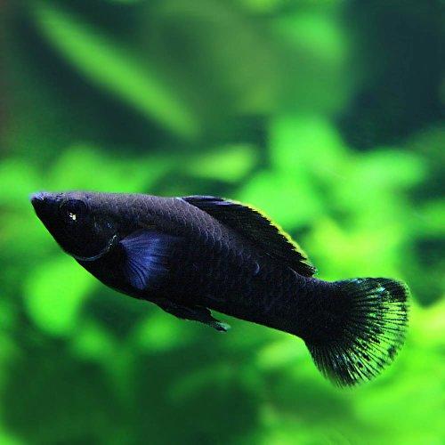 (熱帯魚)ブラックモーリー(約4cm)<6匹>[生体]