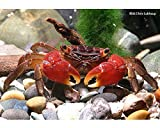*Rote Mangrovenkrabben, 3 Krabben - Pseudosesarma moeshi - Krabbe für AquaTerrarium