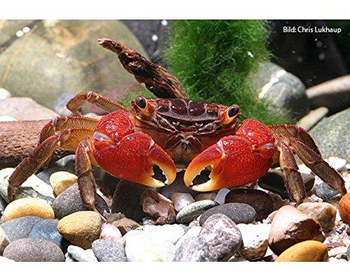 Rote Mangrovenkrabben, 3 Krabben - Pseudosesarma moeshi - Krabbe für AquaTerrarium
