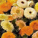 Calendula Officinalis - Marigold - Bob Bon mix - 100 seeds