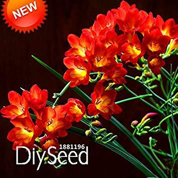 GEOPONICS Förderung! Red Freesie Samen Potteding Samen Orchideensamen 100 Partikel/Pack, VP9A9I