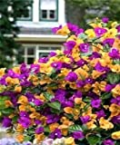 Púrpura: 50 semillas/Pac Ktop vendiendo coloridas buganvillas Spectabilis Willd Seeds Bonsai Plant Flower Seeds Perennial Bougainvillea Seed