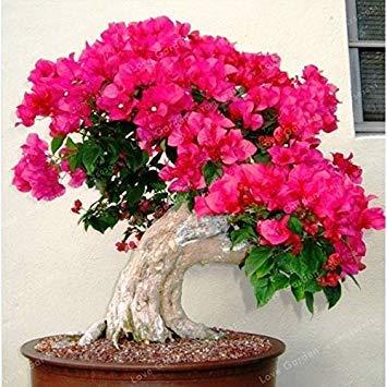 Seltene Sakura Bonsai Blume Kirschblüten Baum Kirschblüten Bonsaipflanzen für Hausgarten Bonsai 10 Stück: 2