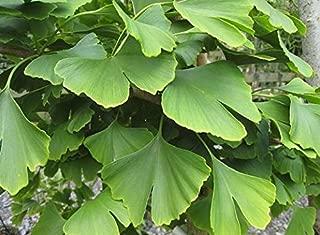 Culantrillo fósiles árbol Gingko Biloba Ginkgo Bonsai Semillas, Paquete Profesional, 5 Semillas / paquete, Amarillo hojas ornamentales E3326