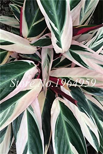 RETS Bonsai 50 PC chinesische Ficus benjamina Bonsai Pflanzen Blumen Topf Bonsai Variety komplette Hausgarten-Anlagen Easy Grow: 3