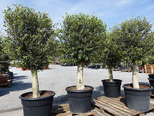 Olivenbaum 170-180 cm, 45 Jahre alt,...