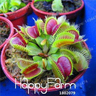 100 Pcs Flytrap graines de Dionaea géant clip Graines Dionée Plante carnivore plante Graines de jeunes arbres Dionaea graines jaunes