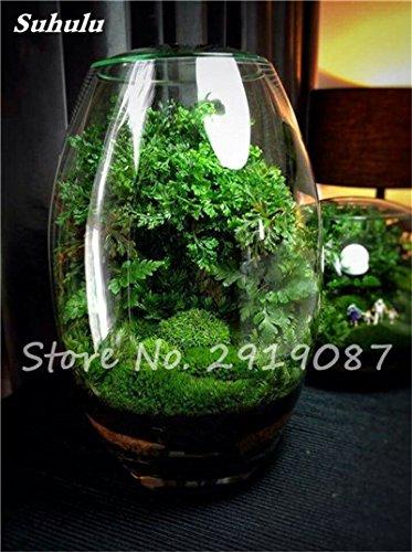 100 Pcs rares mousse verte Graines exotiques Graines Bonsai Moss Belle Moss Boule décorative Jardin créatif herbe Graines Plante en pot 7