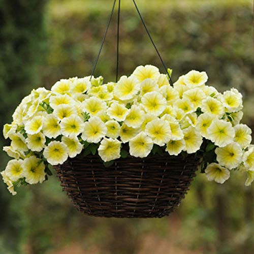 XINDUO Lawn Decoration Seeds,Four Seasons Flower Plant Petunia Seed-H-03#_200 capsules,Blooms Multicolor Seeds