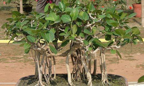 20 PC Exotische Bonsai-Baum Banyan Tree Seed-Büro-Schreibtisch Ficus Ginseng Samen Perennial Ficus Microcarpa Die Budding Rate 95%