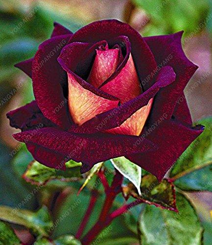 100 piezas / bolsa de 16 tipos de semillas de rosa raras Semillas Semillas de flores de color Bonsai Inicio planta en maceta de jardín verde libre del envío
