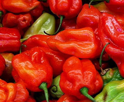 Aji Dulce Red Sweet Venezuelan National Pepper Premium Seed Packet + More