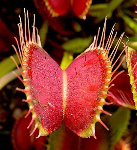 Seeds and Things Venus Flytrap Dionaea Muscipula 20 Seed