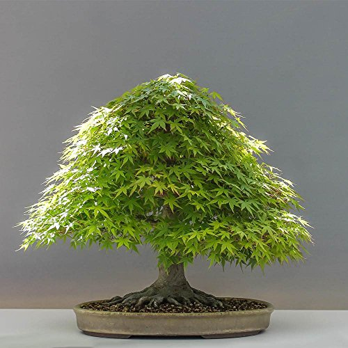 Green Japanese Maple Bonsai