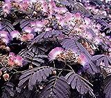 Hot Sale! 5 Summer Chocolate Mimosa Tree Seeds Silk Tree Albizia julibrissin Perennial