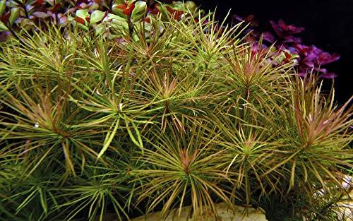 Tropica Aquarium Pflanze Pogostemon stellata Nr.053G Wasserpflanze Aquariumpflanze
