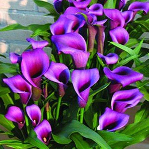 Beautytalk-Garten 100 stücke Calla Samen Raritäten Blumensamen Saatgut Zimmerpflanzen winterhart mehrjährig Schnittblume bienenfreundliche Blumensamen für Balkon, Garten