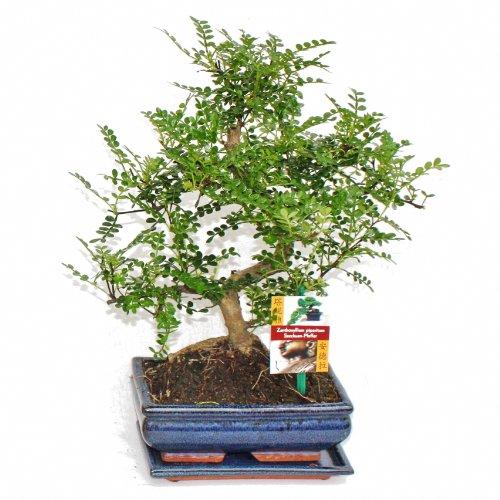 exotenherz - Bonsai Szechuan-Pfeffer - Zanthoxylum piperitum - ca. 8 Jahre