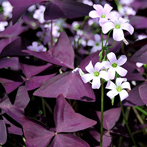 Oxalis Bulbs - Purple Shamrocks - 10 Robust Bulbs - Fresh Lovely Flowers Gardening Bonsai Potted Elegant Decoration
