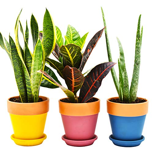Lebensfrohh Set of 3 Terracotta Clay Plant Pots with Drainage Holes and Saucers - Home & Garden - Indoor/Outdoor Flowers, Plants, Herbs - Multiple Colours