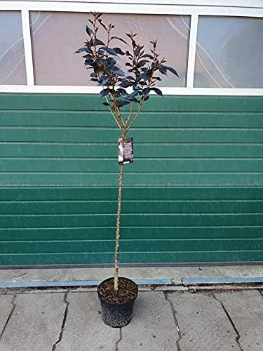 Prunus serrulata Royal Burgundy auf Stamm - Japanische Nelkenkirsche, Höhe: 180-190 cm + Dünger