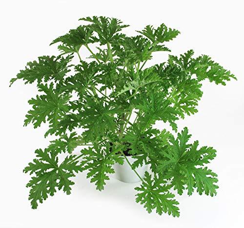Lebende Topfpflanze Zitronengeranie Großer Sämling Pelargonium graveolens Duftgeranie Zimmerpflanze Flauschig, Intensiv grün