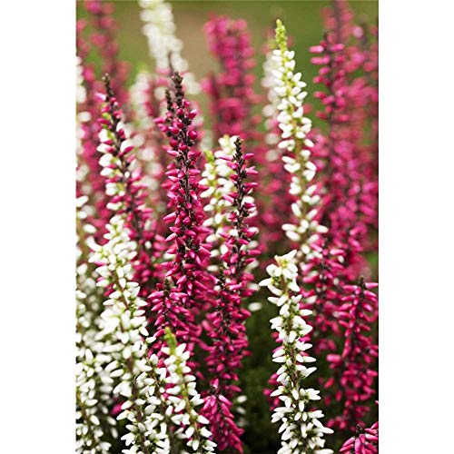 Calluna vulgaris Twingirls®, zweifarbig, Erika, Winterharte Knospenheide, Twins - in Gärtnerqualität - erikarot lila 11 cm