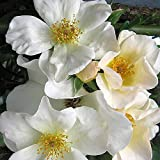 Own-Root One Gallon Sally Holmes Shrub Rose by Heirloom Roses