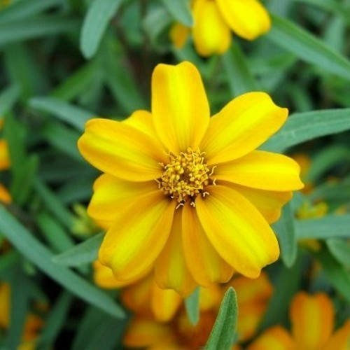Mexican Mint Herb Seeds (Tagetes Lucida) Seeds -200+Seeds