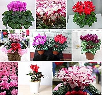 Blumensamen Alpenveilchen Samen Skgs Sowbread Samen Blütenpflanzen Indoor Balkon Bonsai - Über 100 Partikel