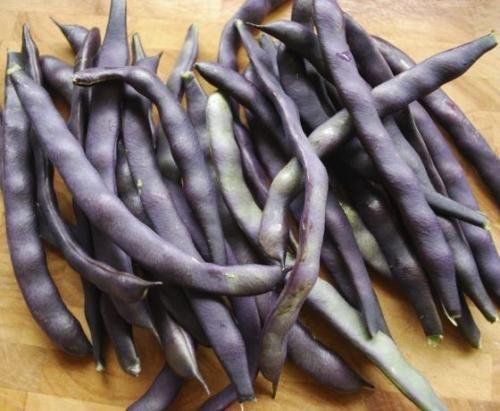 100+ non-OGM New Royal Bourgogne Bush Green Bean Seeds