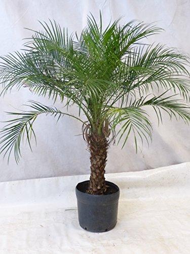 [Palmenlager] Phoenix roebelenii Zwerg-Dattelpalme 170-190 cm/Stamm 40 cm/Zimmerpalme