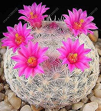 Virtue 100 teile/beutel Echte mini kaktus samen, seltene sukkulente mehrjährige kräuter pflanzen, bonsai topf blumensamen, zimmerpflanze für hausgarten 22