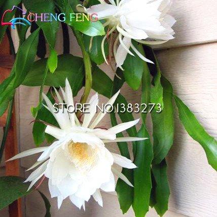 2016 50 pcs chinois Rare Epiphyllum Oxypetalum Graines Nuit Blooming Cierge du bonsaï Fleur Décoration de jardin de plantes As Show in Description As Show in Image