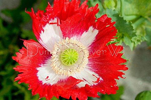 Go Garden Drapeau Danois Coquelicot Rouge éNorme Blanc annuel 100+ Seeds
