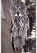 Media Storehouse A2 Poster of Great Gray Owl, Pine City MN Perched on Aspen (5781436)