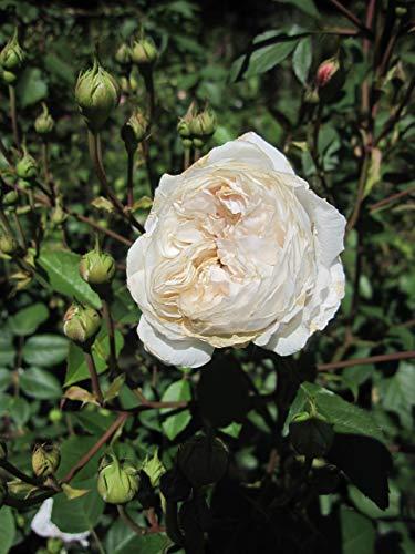Baumschule Pflanzenvielfalt Rosa The Albrighton Rambler® - Kletterrose The Albrighton Rambler®