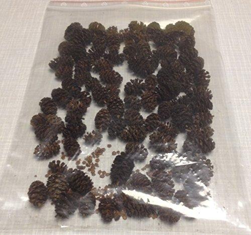 Erlenzapfen ~60Stk. (=25g) Schwarzerle, Alnus glutinosa, black alder cones