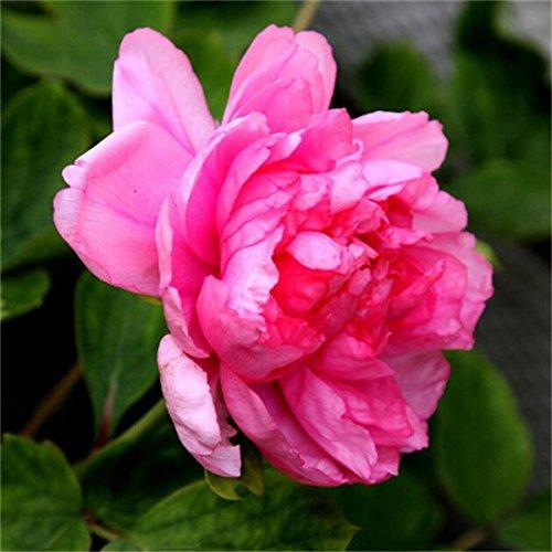 5 pièces/sac graines de pivoine, jaune, graines de fleurs de pivoine rose chinoise belles graines de bonsaï plantes en pot pour le jardin de la maison A