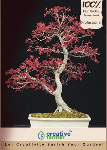 Pinkdose Acer Palmatum