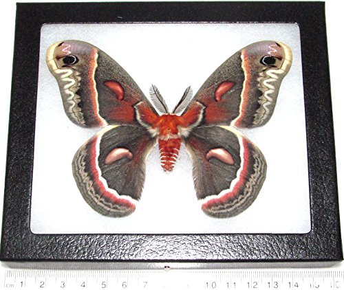 BicBugs Real Framed Moth HYALOPHORA CECROPIA Male USA