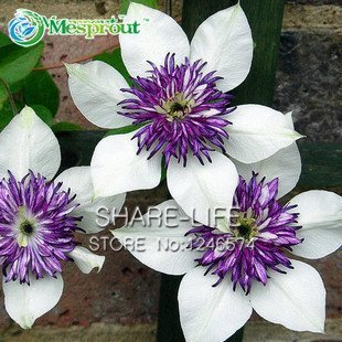 Clemátide, Clematis, enredadera que sube semillas de plantas Clematis - 100 PC semillas / bolsa