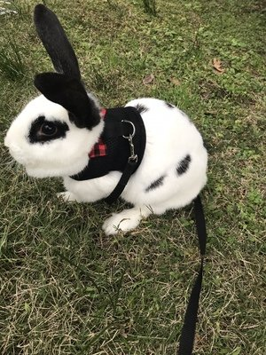 Bunny Kitten Harness No Pull Cat Leash Stylish Vest Harness for Small Animal Adjustable Soft Breathable Walking Harness Set (Black, M)