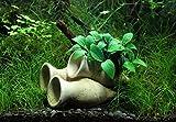 Dekoimtrend Garnelen Amphore mit Anubias Bonsai Wasserpflanze Aquarium...