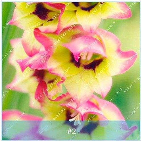ZLKING 2 ampoules différentes vivaces Gladiolus fleurs d'orchidées Graines Plantes Bonsai Graines Lily Sare Pour jardin Plantation Rose Jaune