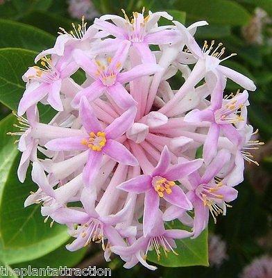 Dais cotinifolia Samen South African PomPon Baum Strauch, Schiffe aus den USA!