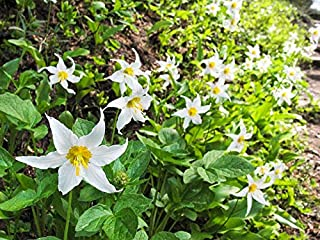HOT!! - 10 White Avalanche Lily Erythronium Montanum Native Alpine Flower Seeds