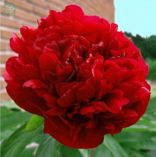 graines de pivoine en pot Paeonia graines suffruticosa fleur de pivoine couleurs rouge variété 100% frais graine réelle 20 pcs/sac f58