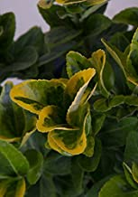 2.5 Qt - Golden Euonymus - Green and yellow variegated foliage